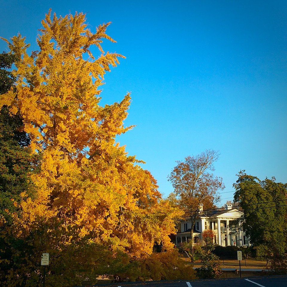Because I'm a tree-hugging Lorax, I couldn't resist sharing a pic of this incredible gingko tree down the street from where I'm staying in Abbeville, SC.  Breathtaking.  And proof that fall is never ending in South Carolina.