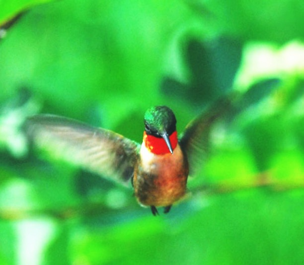 huming-bird 2.jpg