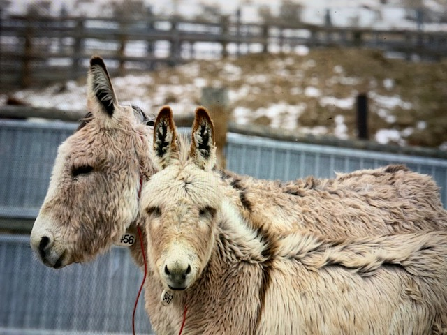 Wild Donkeys — Skydog Ranch - Wild Mustangs and Burros