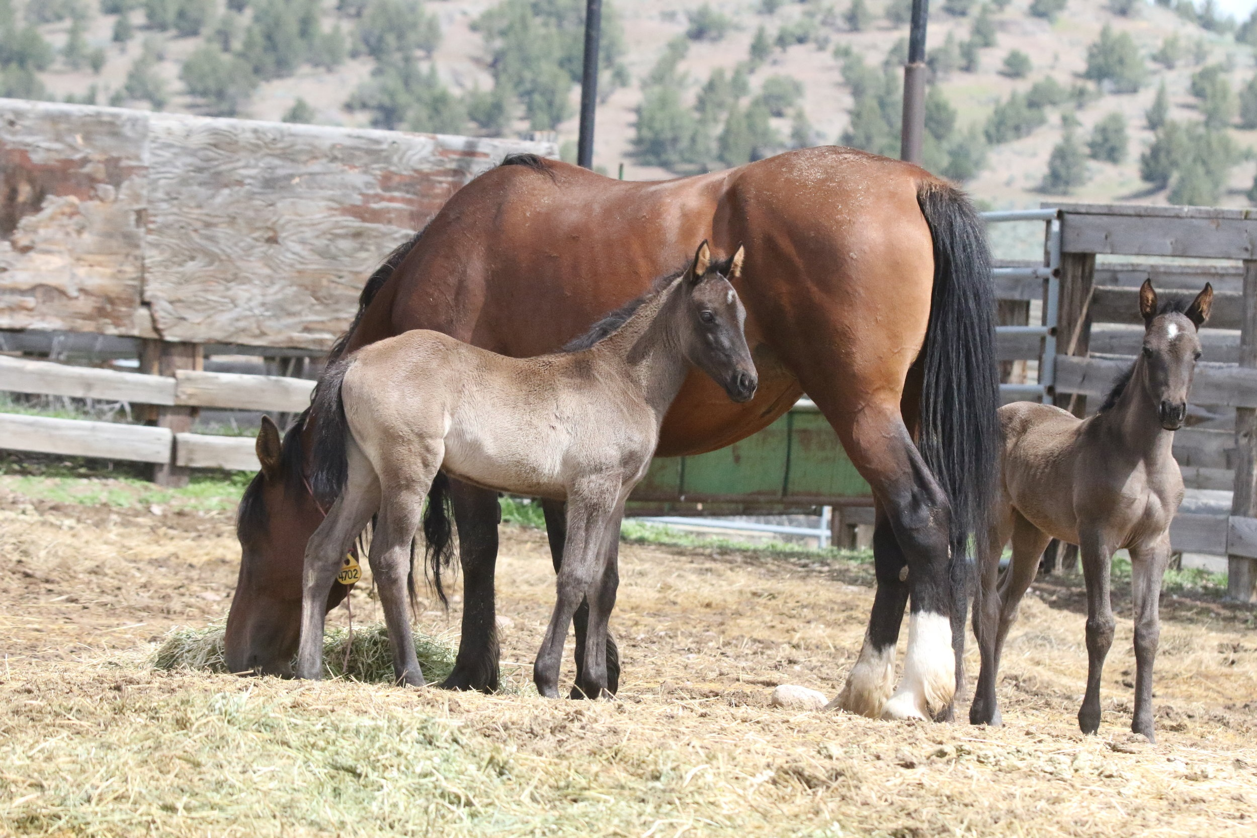 Free the Twins and Their Mother, A Wild Mare From Warm