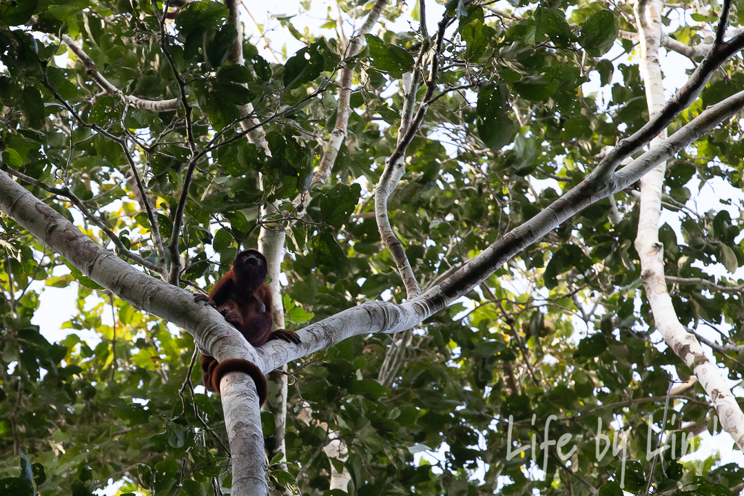 High up in the trees we got to see a family of Howler monkeys on our very first hike!