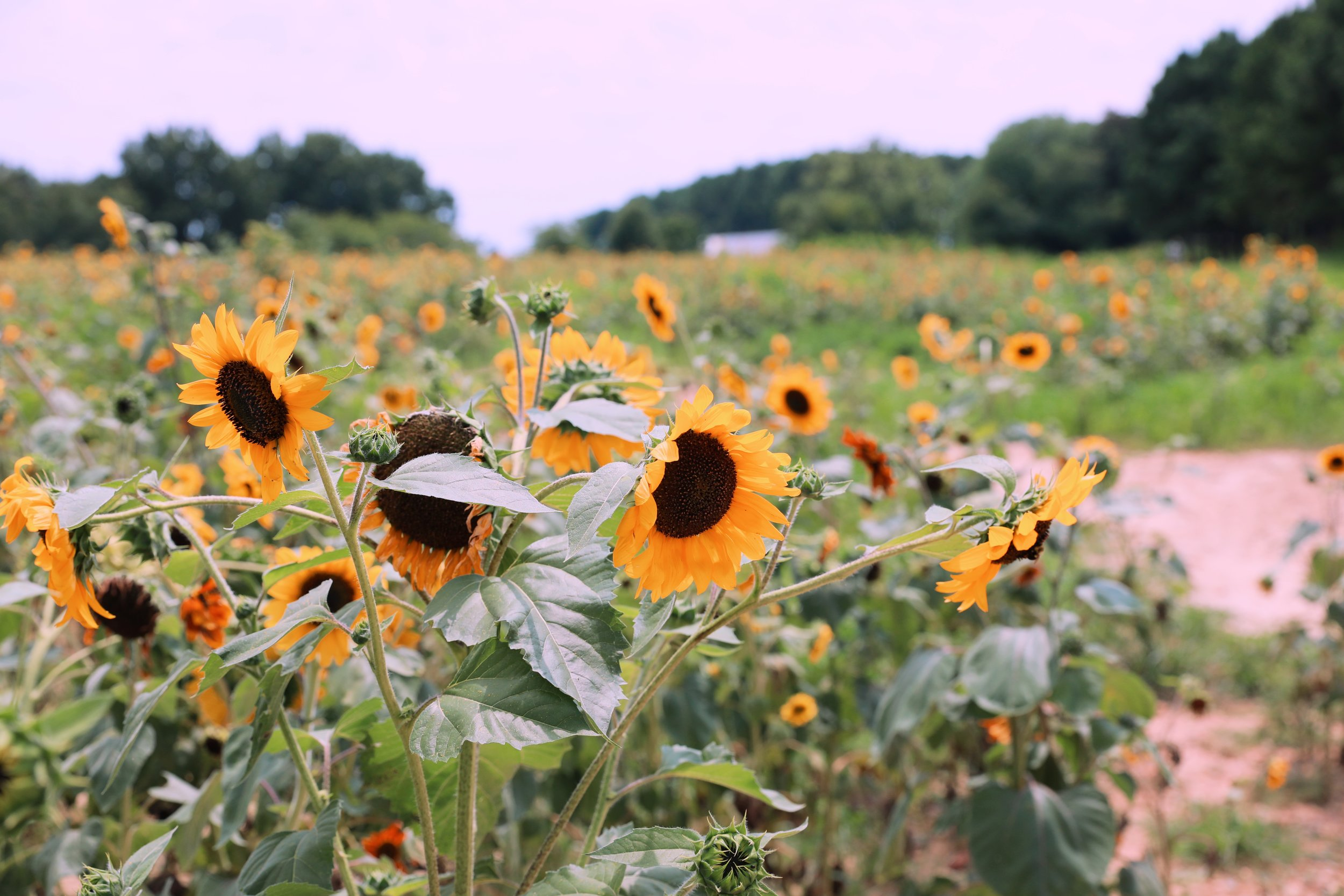 raleigh sunflower field.JPG