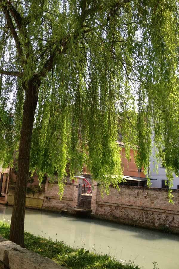 A tree hanging over a canal in Treviso, Italy