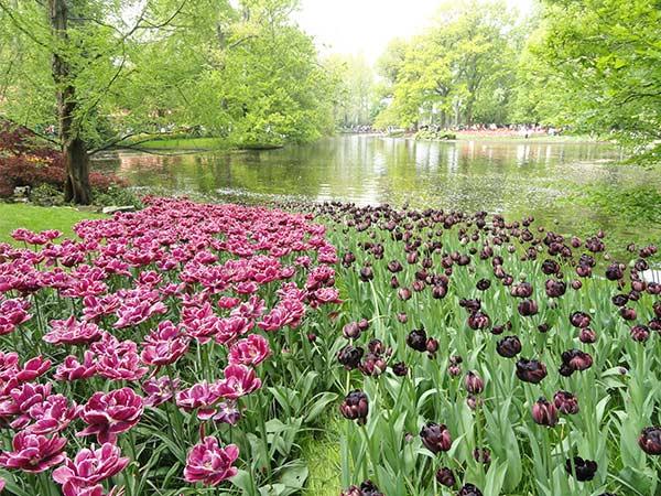 Pink and purple tulips in Keukenhof Park