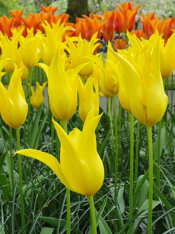 Yellow and orange tulips in Keukenhof Park