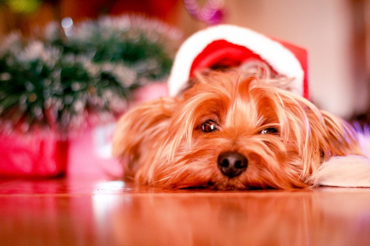 Holiday Dog.jpg