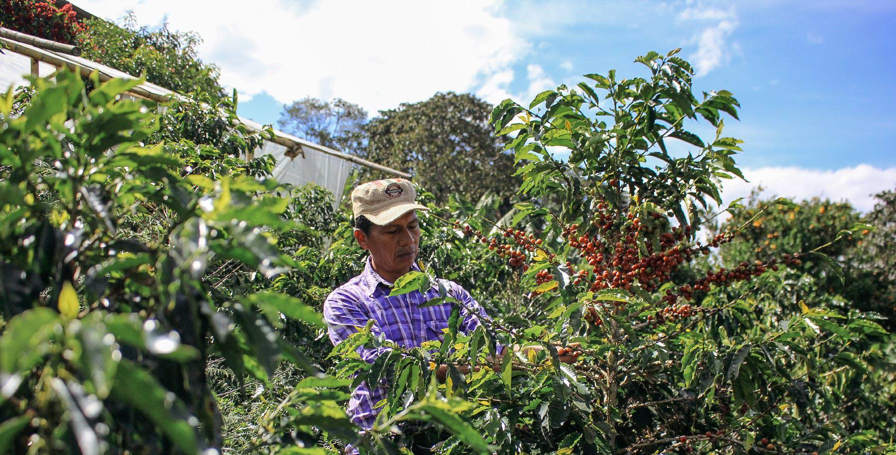 Luis Alberto picking coffee cherries
