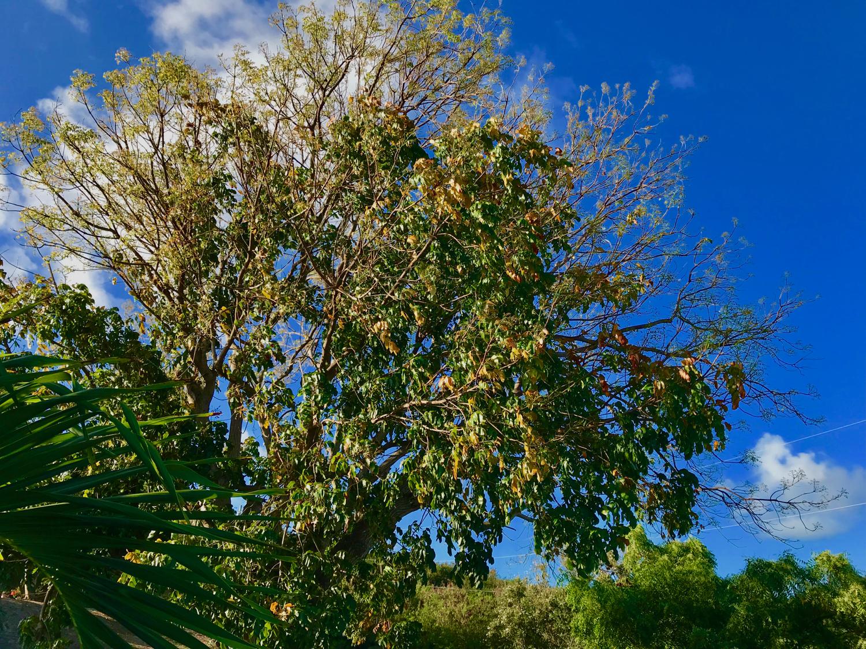 Mahogany: Spring at top, Fall at bottom