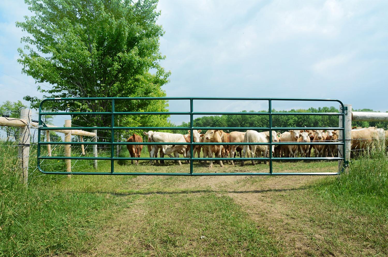 cows-gates-field.jpg