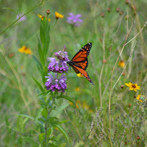 Monarch Butterfly on Native Horsemint  Photo by Christine Mansfield