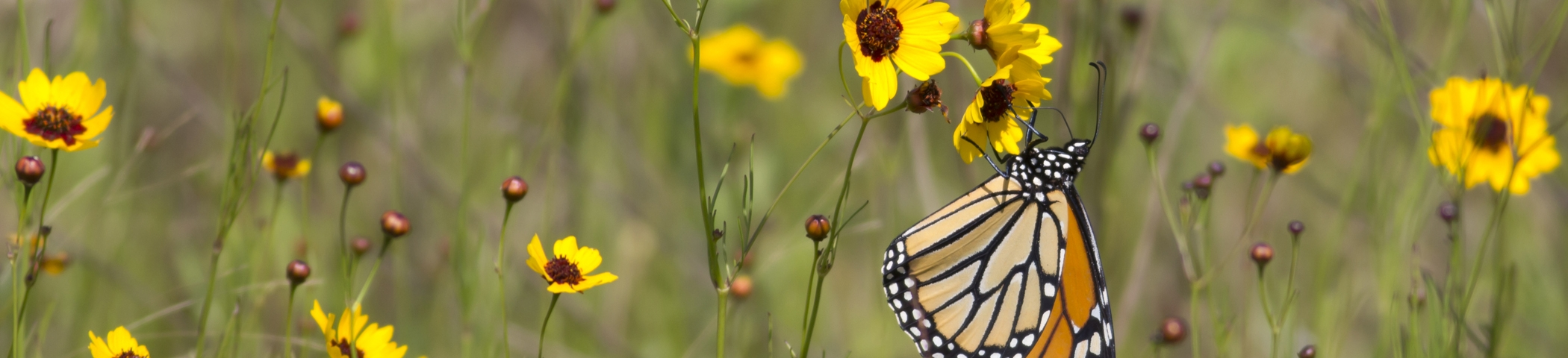 Monarchs are a key prairie species and rely on pollinator plants  Photo by Chuck Duplant