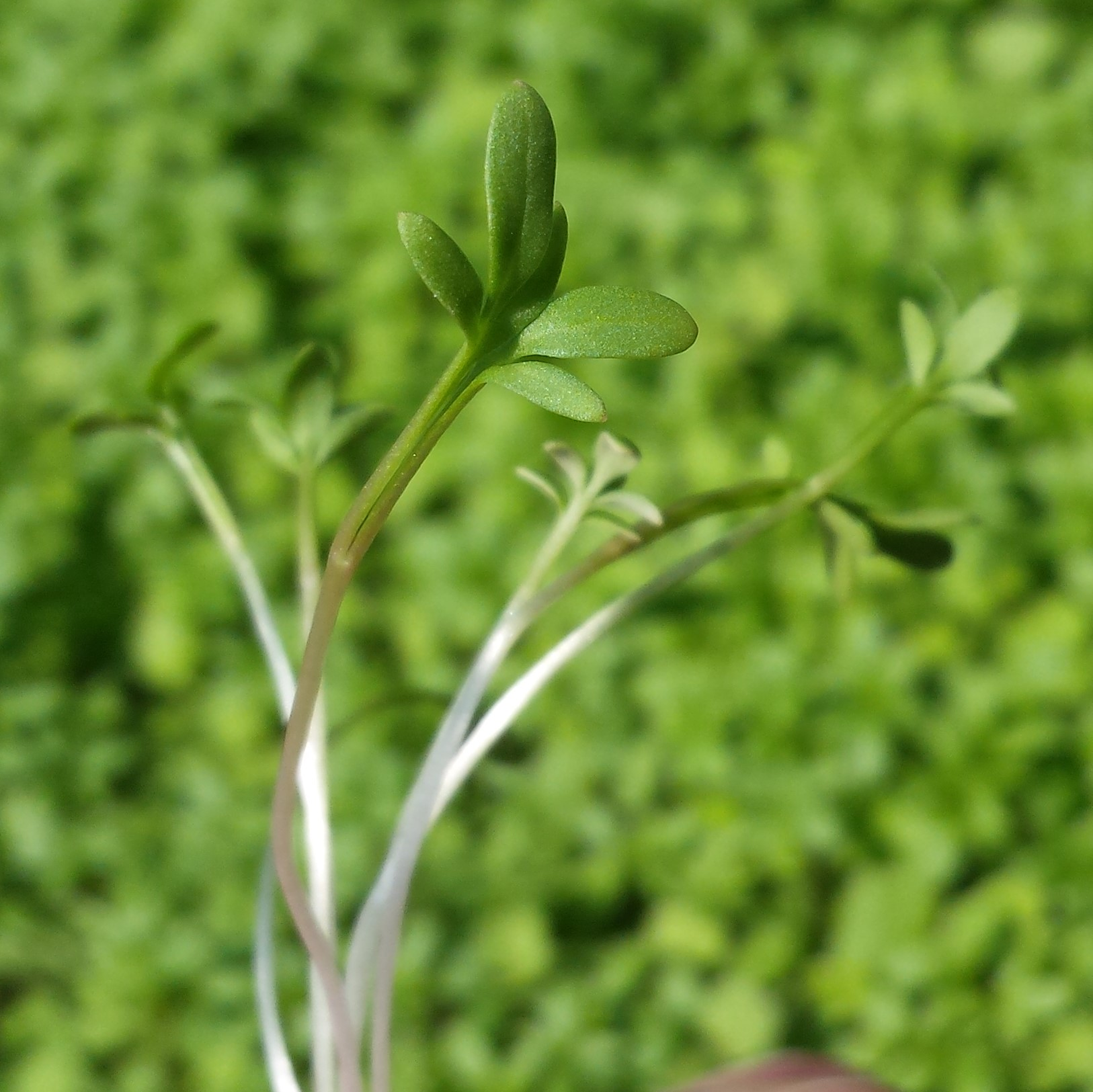 Curly Cress
