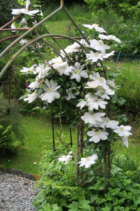 6 June Clematis white copy.JPG