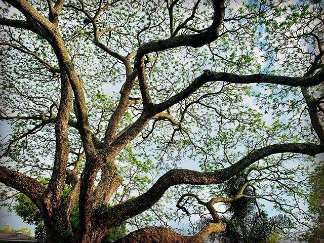 🐾🌿🌤💛#sydwalk #treeotd
