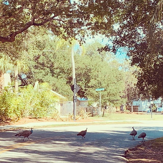 slowest road-crossers ever 🦚🦚🦚🦚 #ibreakforpeacocks #FL