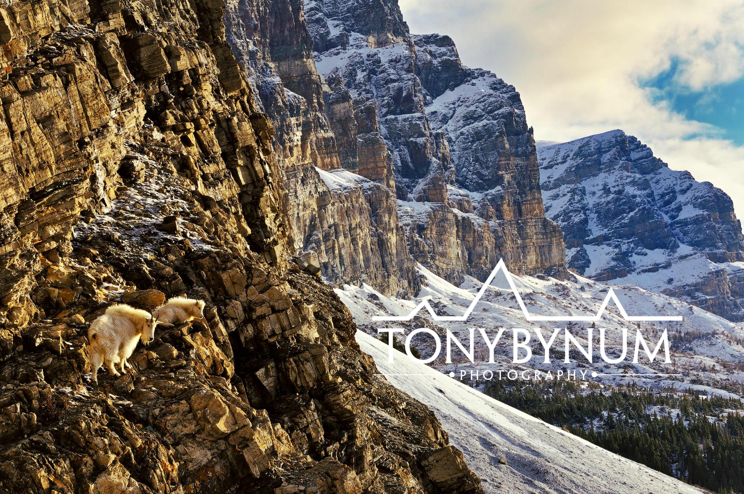 tony-bynum-goats-on-cliff