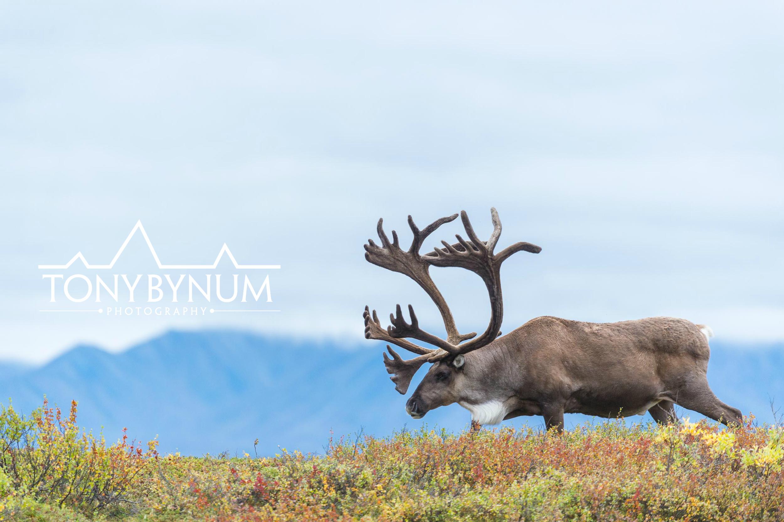 tony-bynum-caribou
