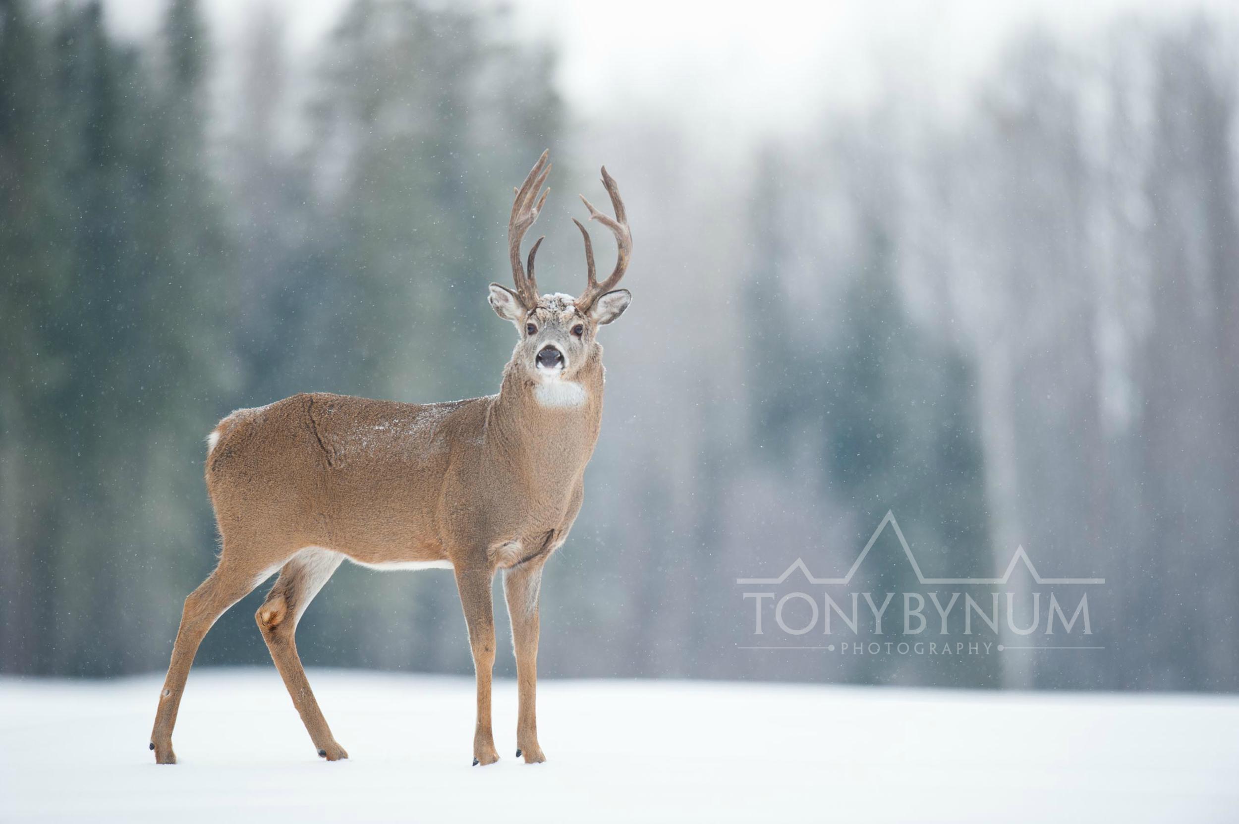 tony-bynum-whitetail-snow