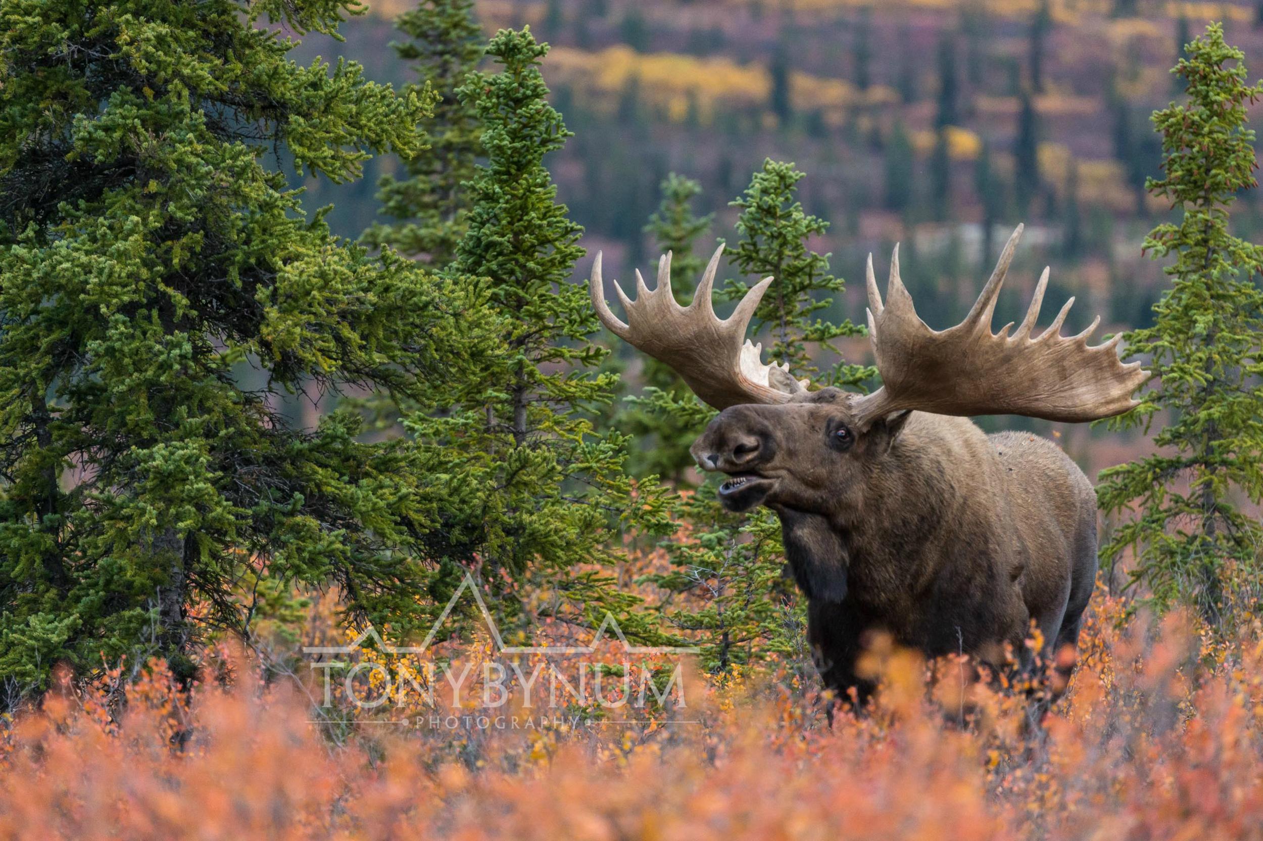 Tony-Bynum-Moose