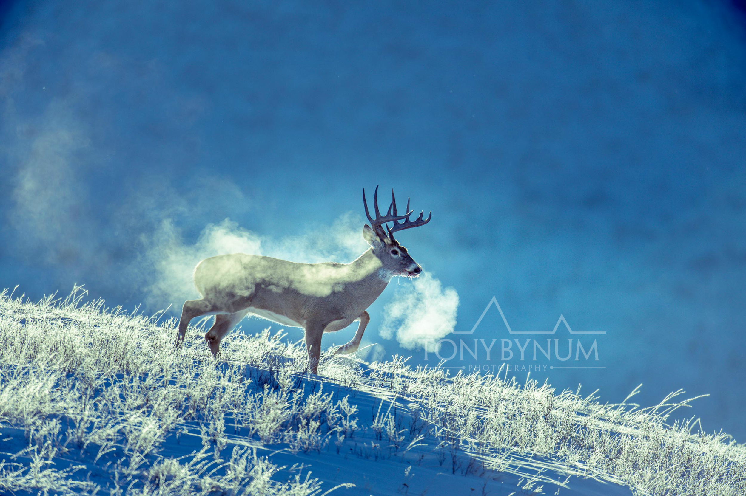 tony-bynum-whitetail-cold
