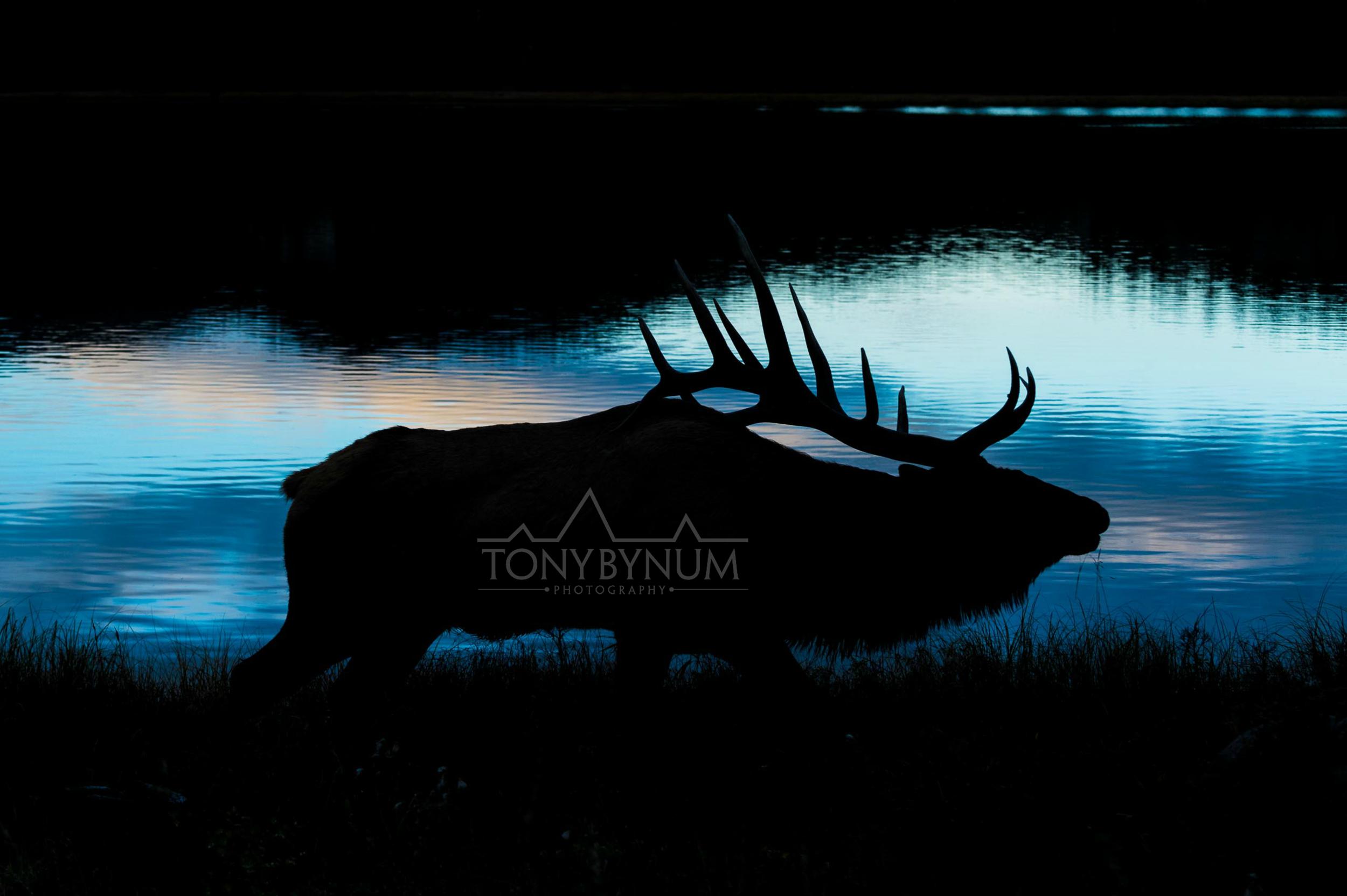 tony-bynum-elk-dark
