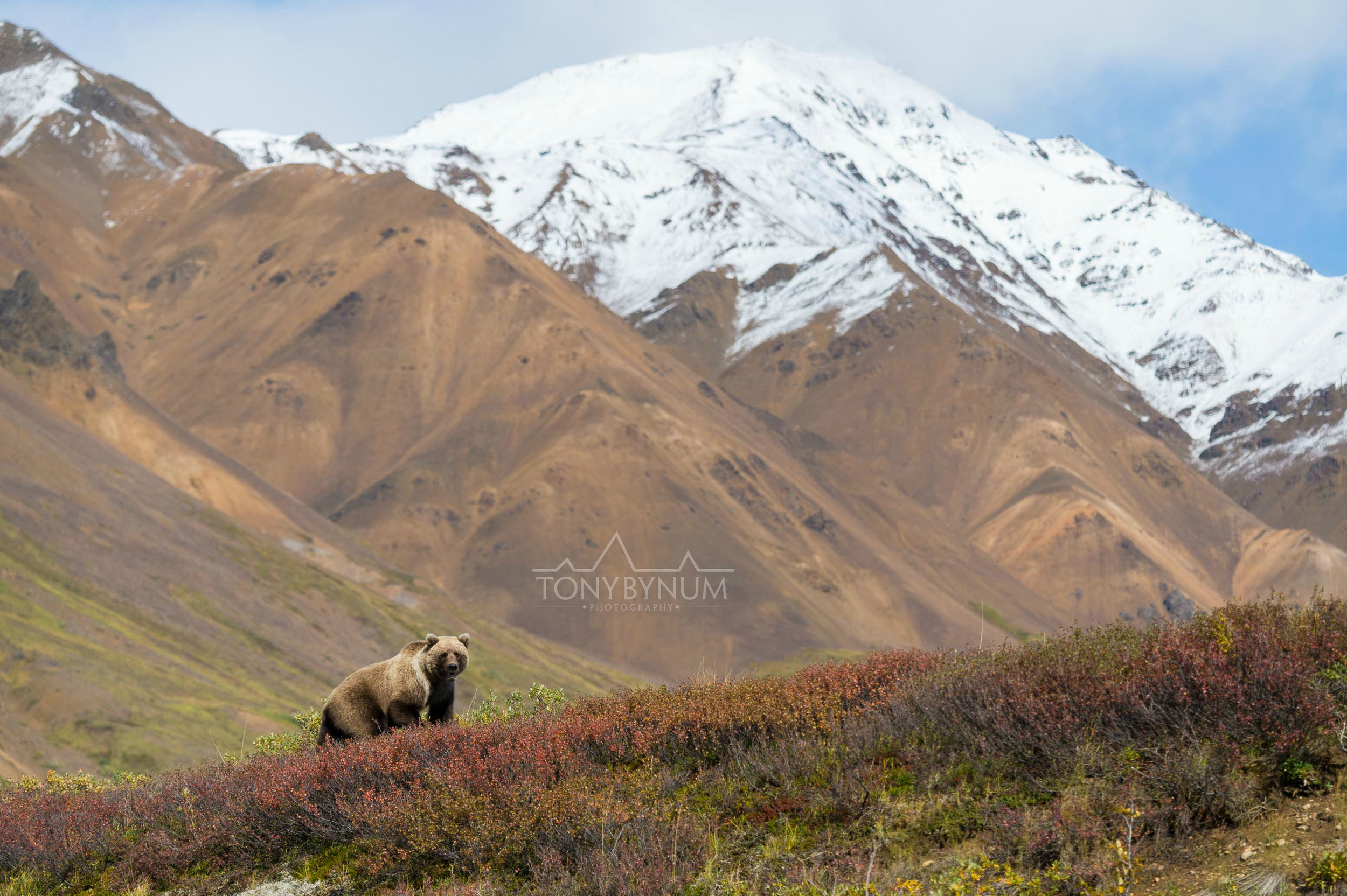 grizzly bear in the mountains