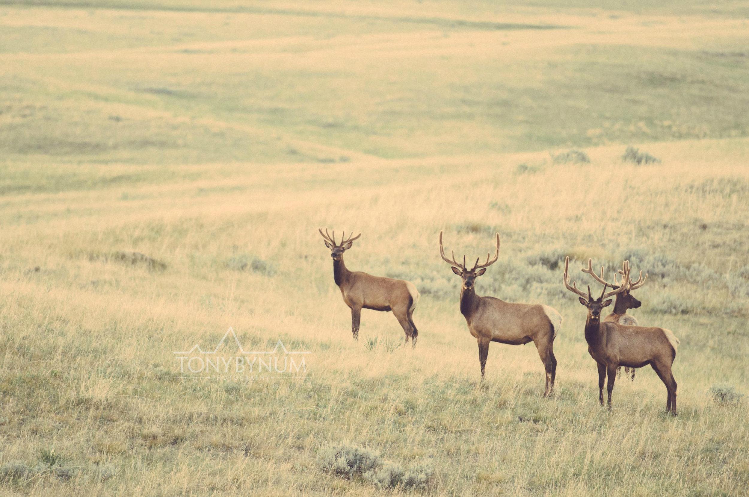 elk in the prairie