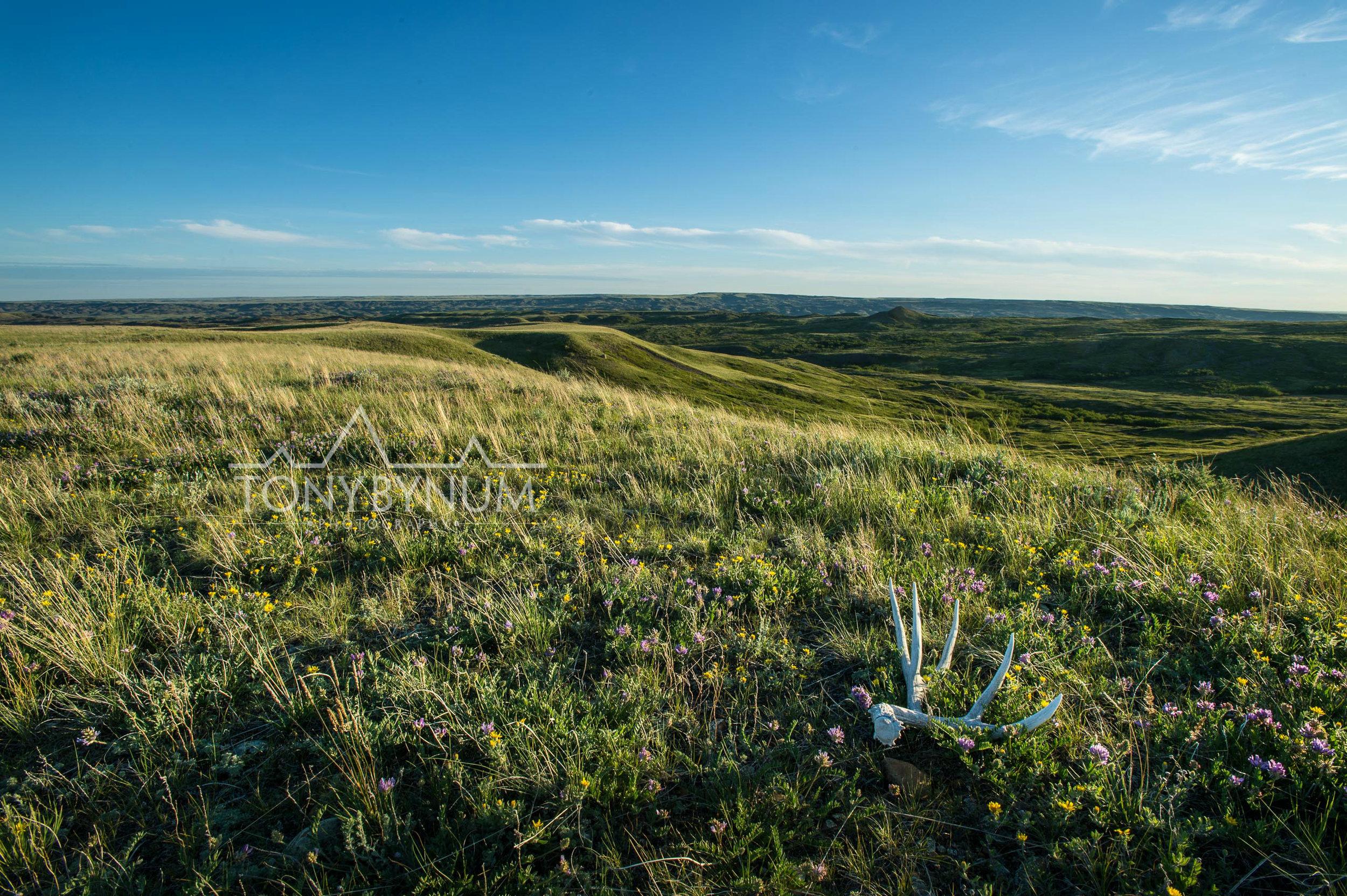 mule deer skull Montana prairie