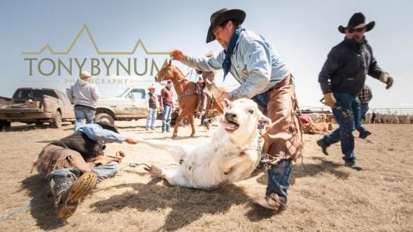Cowboys wrestling a large white calf on the ground in Montana