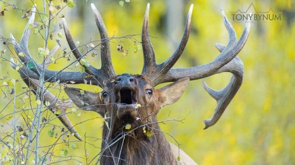 Bull elk in aspen trees bugling