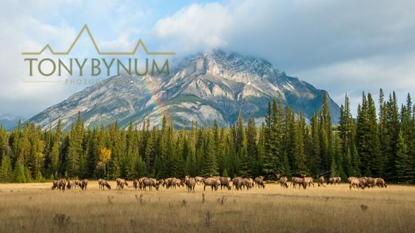 Herd of elk grazing in a meadow mountain background with rainbow