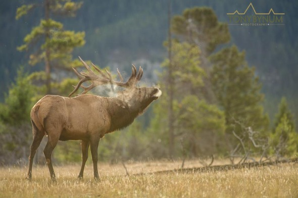 Bull elk back lit, steam bugling