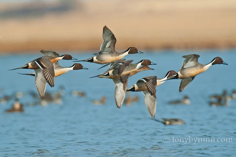 bynum_pintails-9102