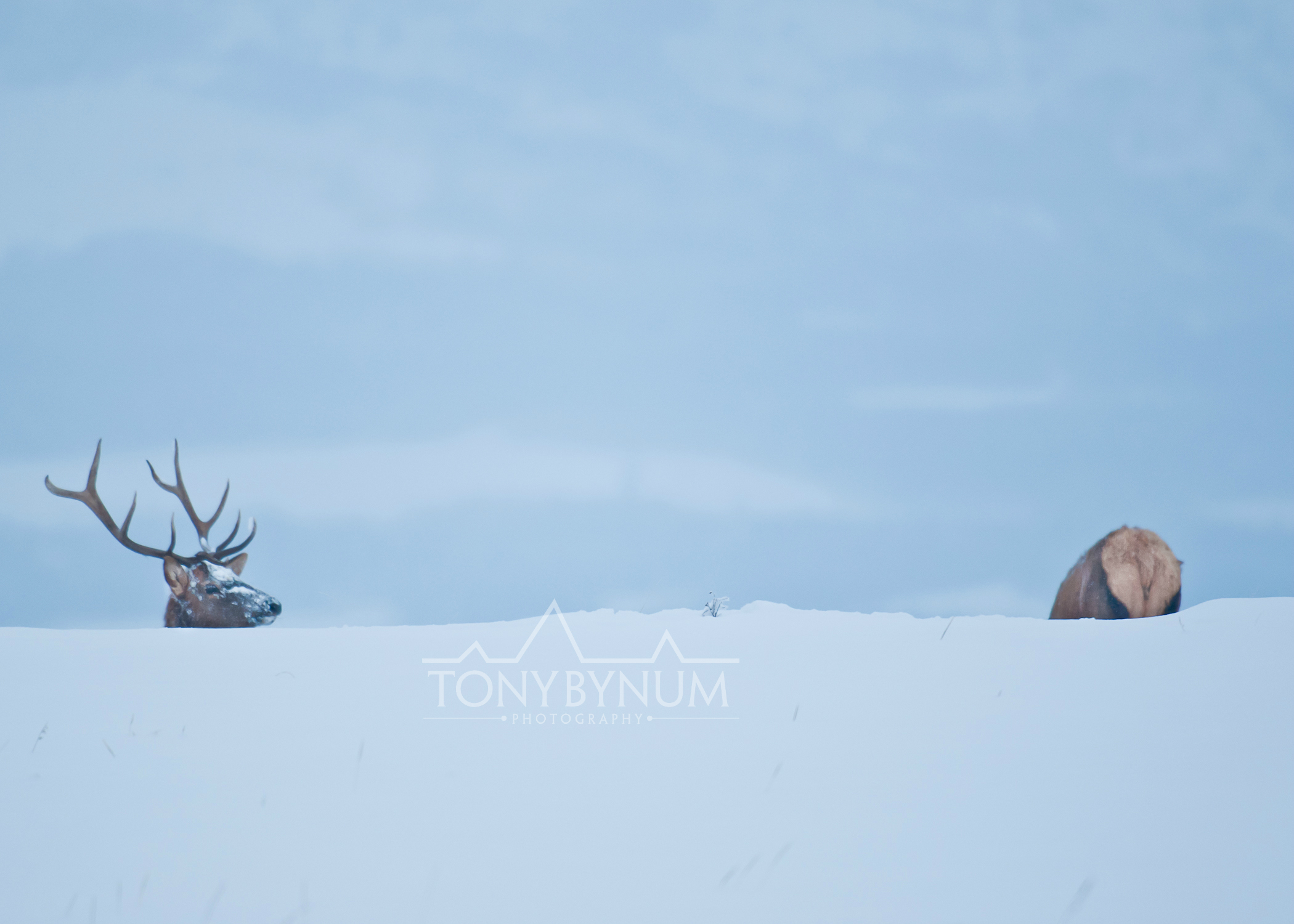 bull-elk-winter-5487-.jpg