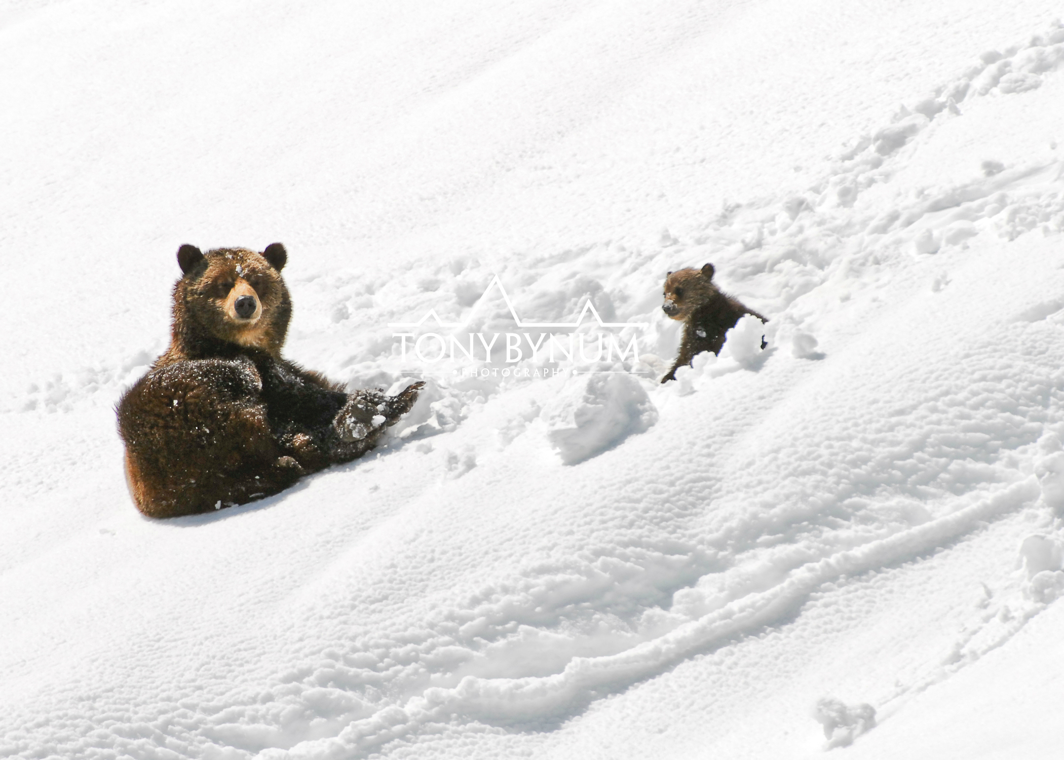 grizzly-bear-sow-cub-snow-glacier-national-park1-.jpg