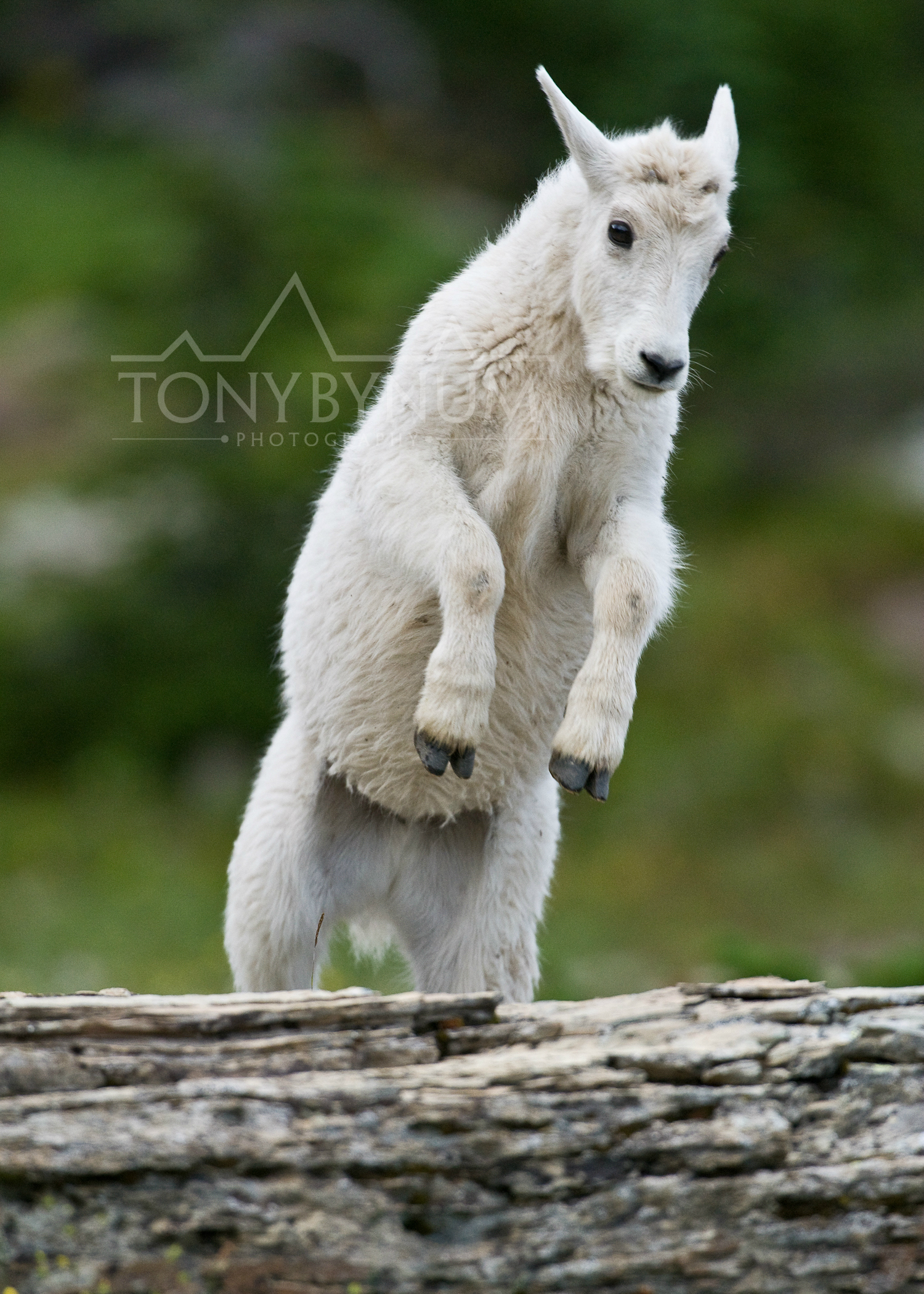 mountain-goat-baby-jumping-glacier-park-1720-.jpg