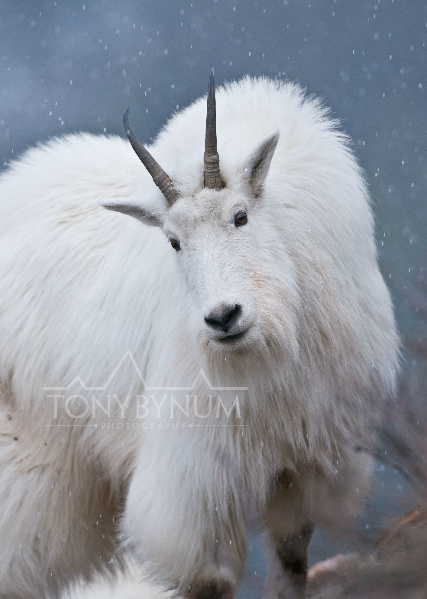 mountain-goat-glacier-park-snowing_8806-.jpg