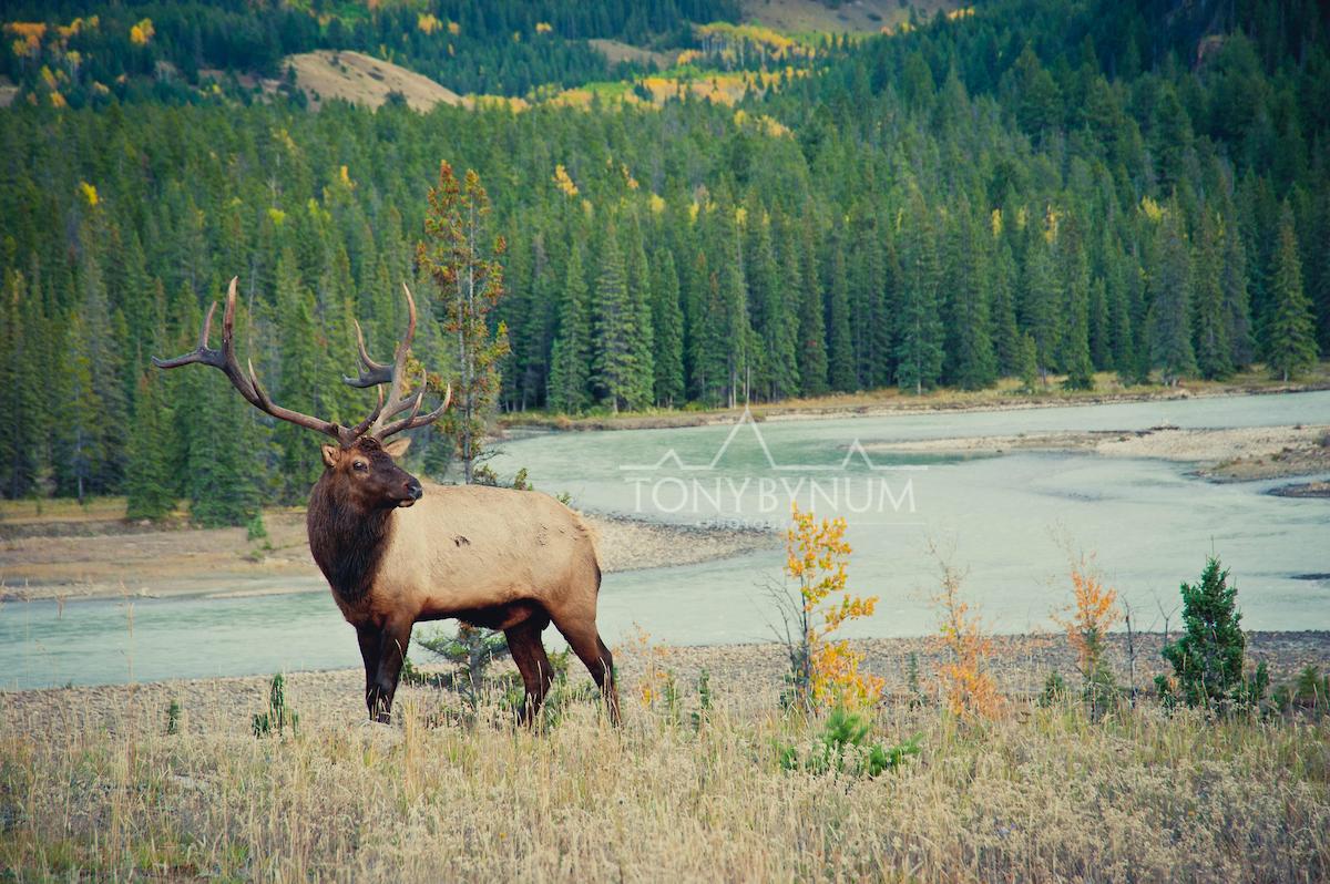 bull-elk -4427-.jpg