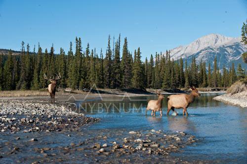 Elk-2371-.jpg