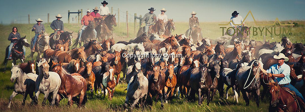 Cowboys moving wild horses during the Tal Michael Memorial in Browning, Montana on the Blackfeet Indian Reservation. Montana Photographs (Tony Bynum/tonybynum.com)