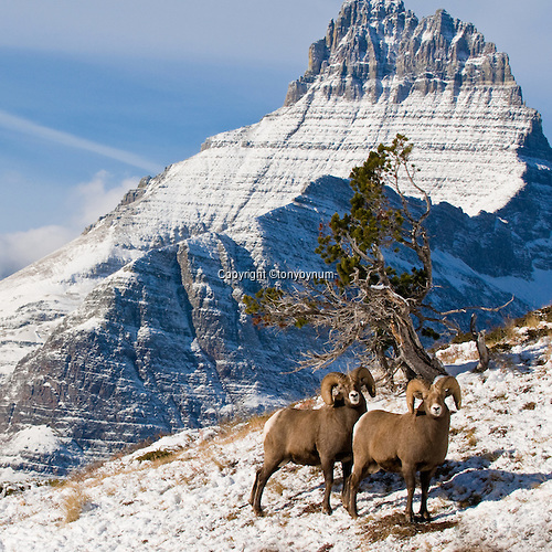 Two bighorn rams standing in the snow with mountain backdrop. © tony bynum