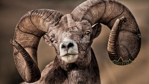 Mature, bighorn ram. This is an excellent example of a large, mature big horn ram in prime condition. © tony bynum