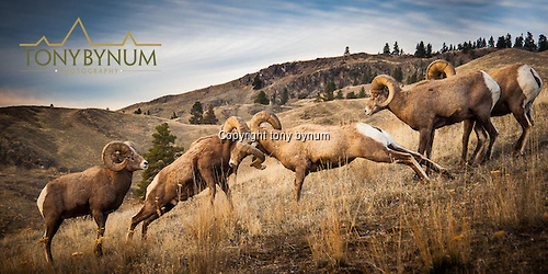Two bighorn rams head butting to determine dominance in the band. Other rams watch and even participate in the battles. © tony bynum