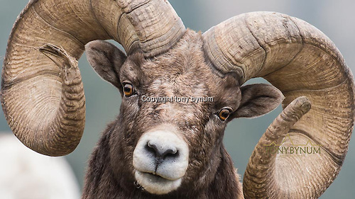 Bighorn sheep close up of a big horn ram. © tony bynum