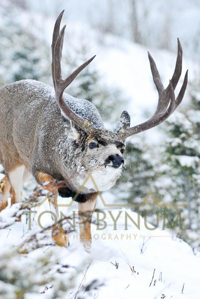 Mule deer photo - mature mule deer buck with large antlers walking in the snow. © tony bynum