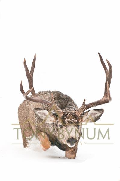 Mule deer buck photo - large agressive mule deer buck walking in deep snow.   © tony bynum