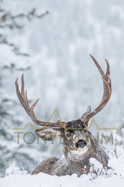Mule deer buck photo - wide mule deer buck bedded in the snow. © tony bynum