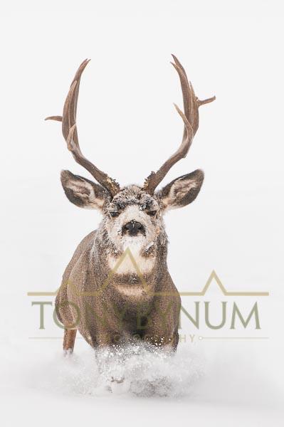Mule deer buck photo - mule deer buck lunging in the snow. © tony bynum