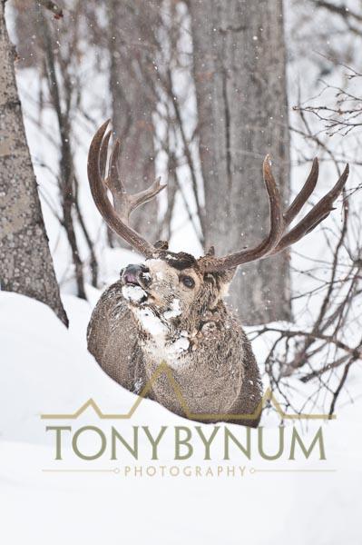 Mule deer buck photo - mule deer buck lip curling in deep snow among cottonwood and aspen trees. © tony bynum