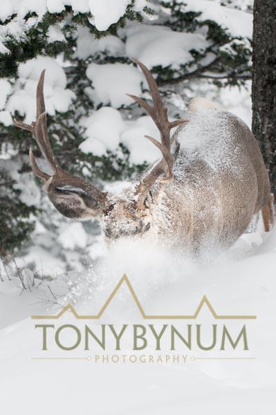Mule deer buck photo - mule deer buck walking in deep snow. © tony bynum